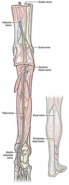 Easy Notes On Tibial Nervelearn In Just 4 Minutes