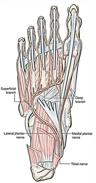 Easy Notes On 【Plantar Nerves】Learn in Just 4 Minutes!