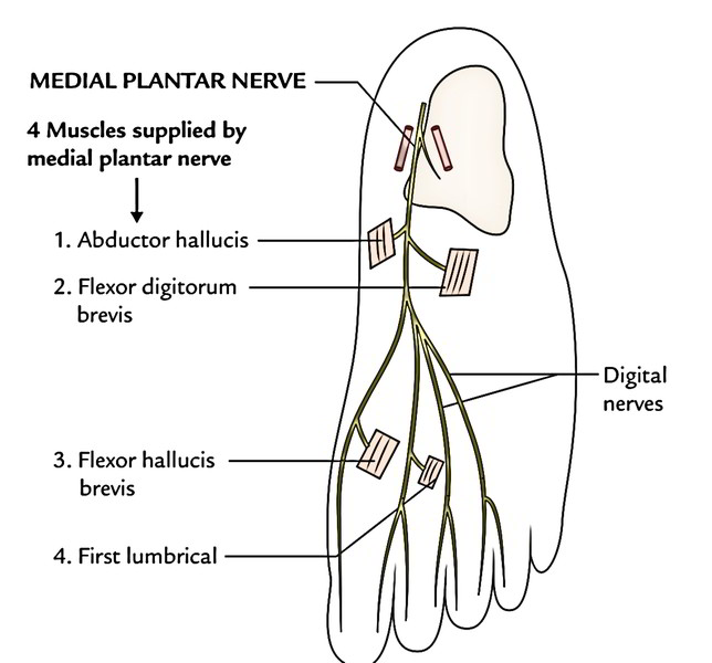 Easy Notes On Plantar Nerveslearn In Just 4 Minutes