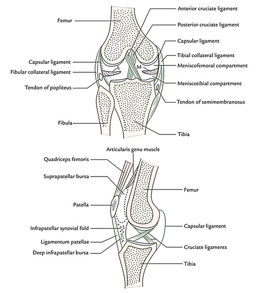 front of the knee diagram bent knee diagram easy notes on 【knee joint】learn in just 4 minutes! – earth ...