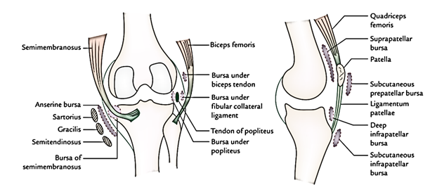 Easy Notes On 【Knee Joint】Learn in Just 4 Minutes!