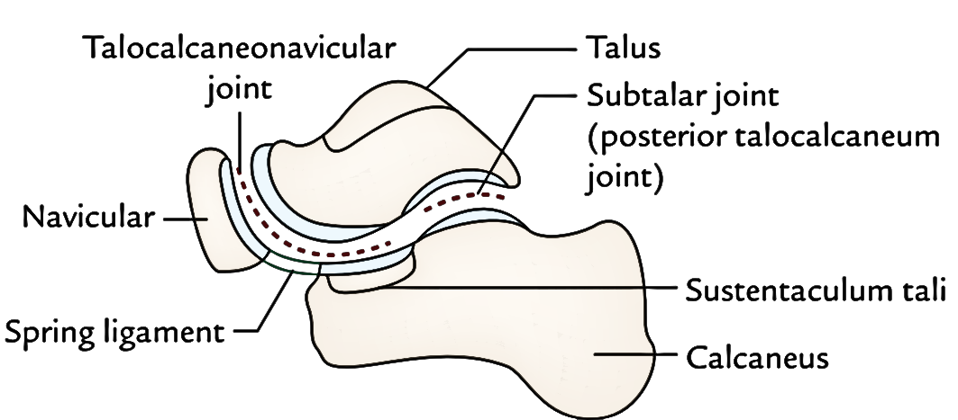 Easy Notes On 【Joints of The Foot】Learn in Just 3 Minutes!