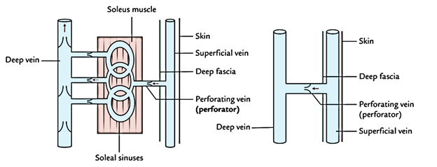 Easy Notes On Perforating Veins Perforatorslearn In Just 3 Mins