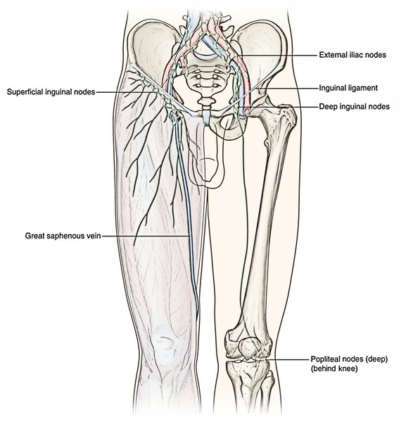 Easy Notes On Lymphatic Drainage Of The Lower Limb