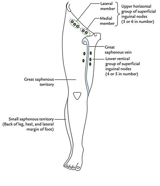 Easy Notes On 【Lymphatic Drainage of The Lower Limb】