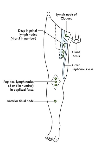 easy notes on  u3010lymphatic drainage of the lower limb