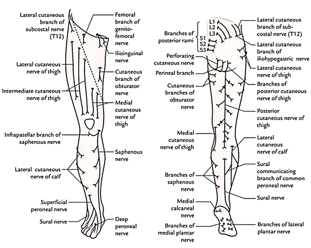Easy Notes On Cutaneous Innervation Of The Lower Limb Earths Lab