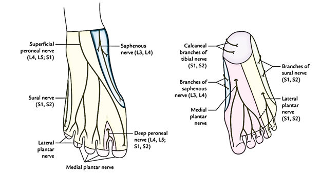 Easy Notes On 【Cutaneous Innervation of The Lower Limb】