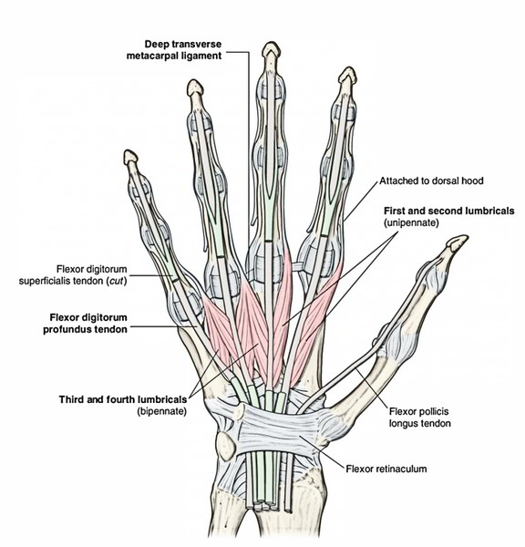 Easy Notes On Intrinsic Muscles Of The Handlearn In Just 3 Mins