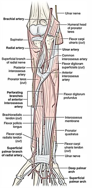Easy Notes On 【Ulnar Artery】Learn in Just 4 Minutes!