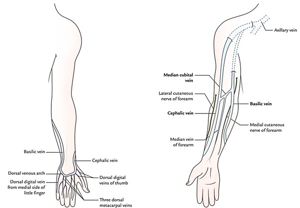 Easy Notes On 【Venous Drainage of the Upper Limb】