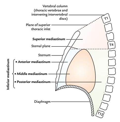 anterior mediastinum anatomy - photo #5