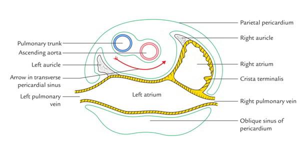 Parietal Sinus Diagram Block And Schematic Diagrams
