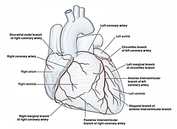 Arterial Supply of the Heart – Right and Left Coronary Artery