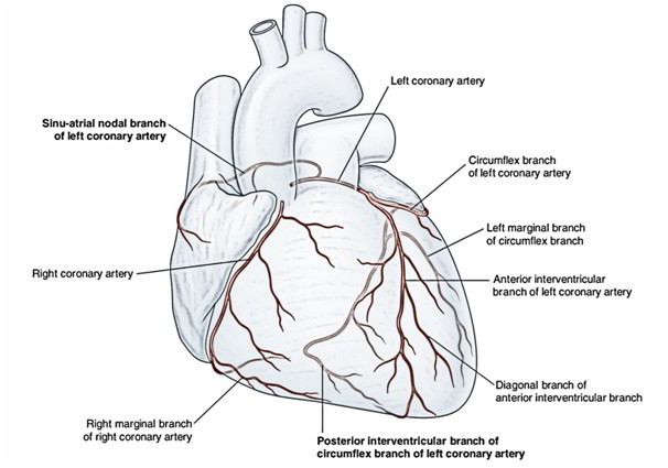 arterial supply of the heart  u2013 right and left coronary