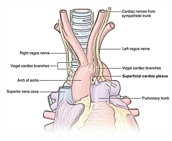 Easy Notes On Nerve Supply And Lymphatic Drainage Of Heart