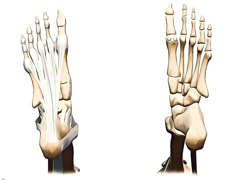 Easy Notes On 【Arches of The Foot】Learn in Just 3 Minutes!
