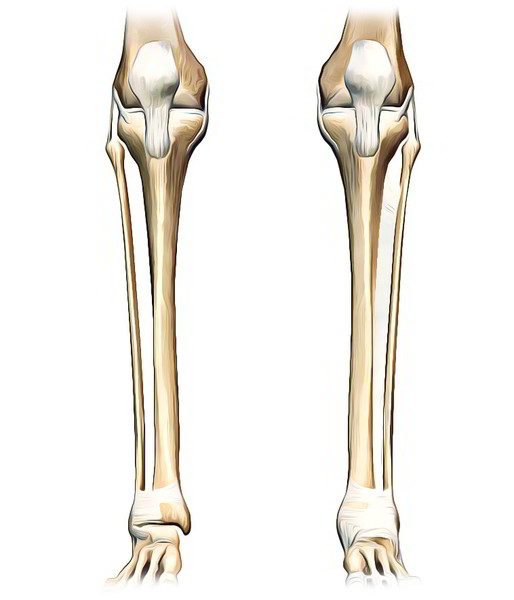 tibia (shinbone) - earth's lab, Human Body
