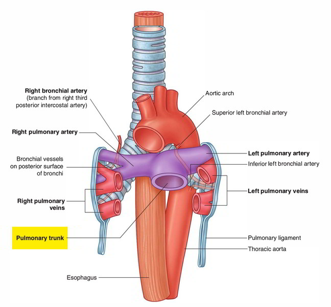 Easy Notes On 【Pulmonary Trunk】Learn in Just 3 Minutes!
