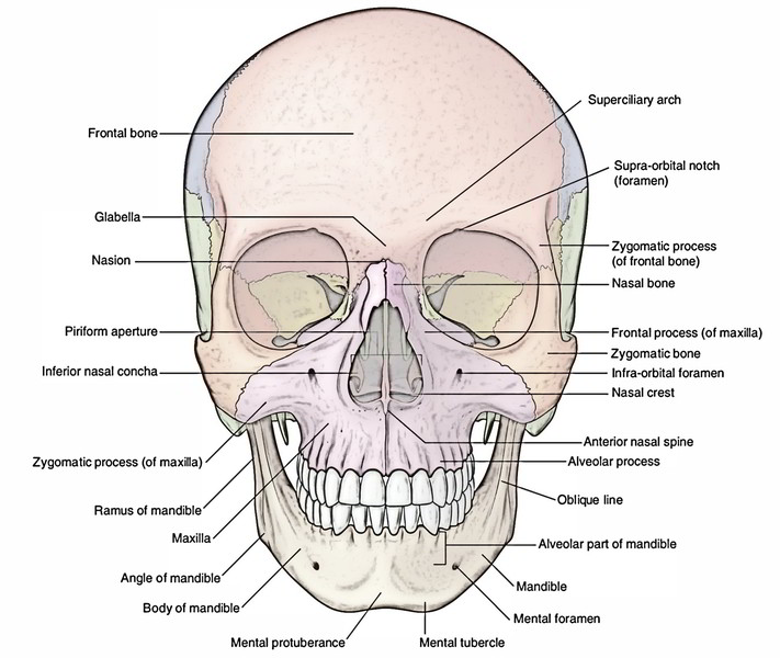 Orbital Bone Diagram Easy Notes On 【Skull...