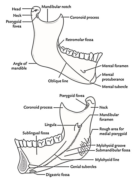easy notes on mandible learn in just 4 minutes