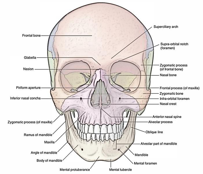 Anatomy of frontal bone