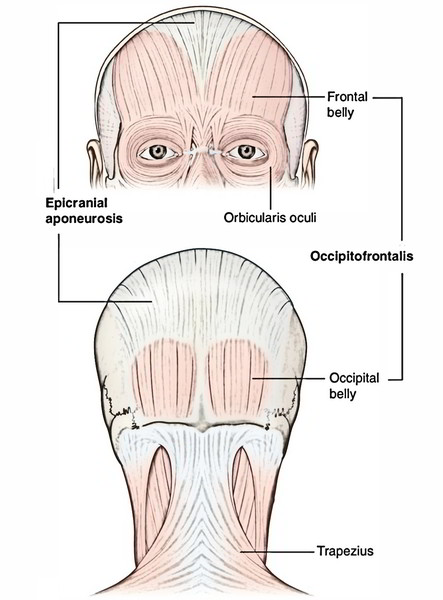 Scalp: occipitofrontalis muscle
