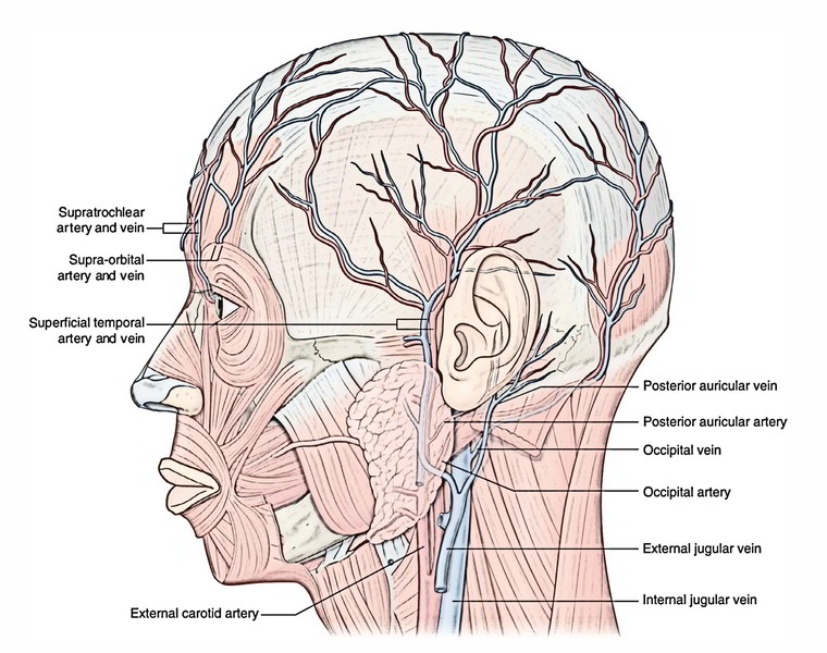 Lateral Face Anatomy Diagram - Electrical Work Wiring Diagram •