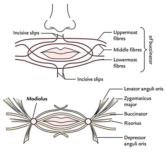 Face Anatomy: Orbicularis Oris