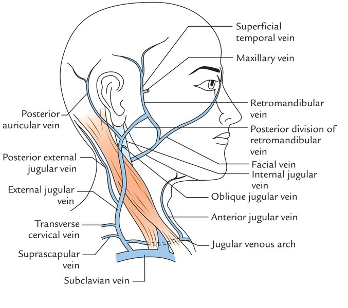 Easy Notes On 【Superficial Veins of the Neck】Learn in Just 3 Minutes!