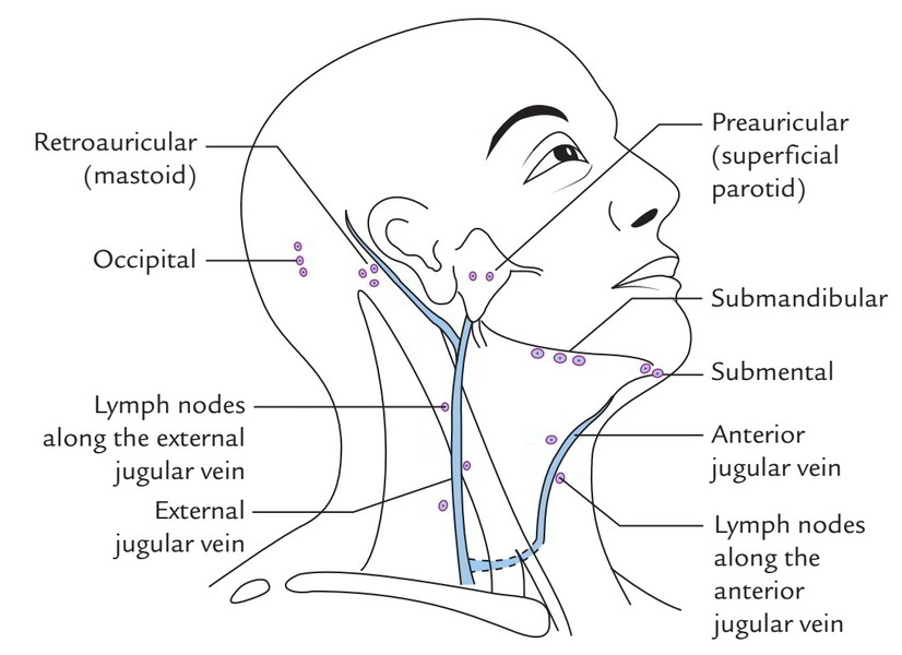 Easy Notes On Superficial Lymph Nodes And Lymph Vessels