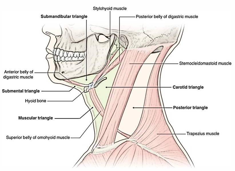 Parts of facial nerve