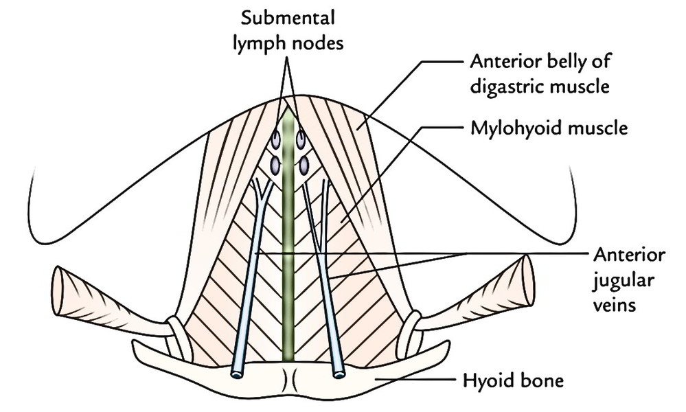 Easy Notes On 【Anterior Triangle of the Neck】Learn in Just 3 Minutes!