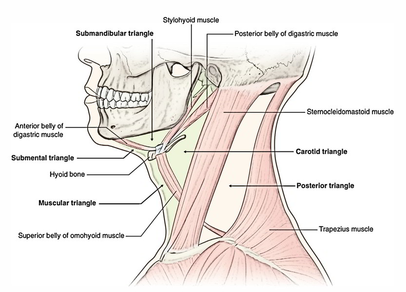 Easy 3 Mins Notes On 【Suprahyoid and Infrahyoid Muscles of the Neck】