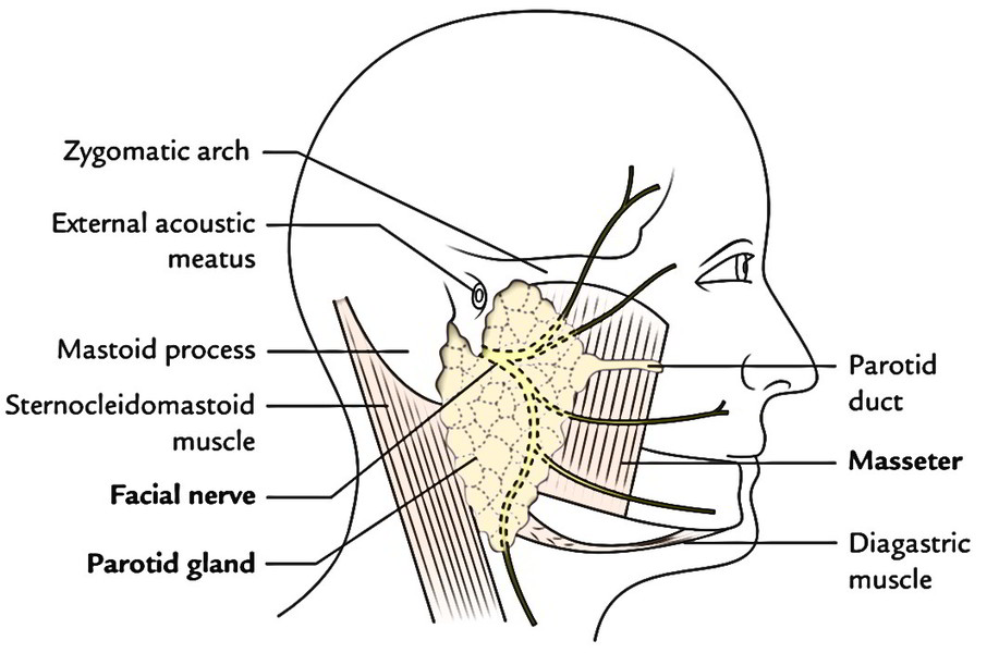 Easy Notes On Parotid Regionlearn In Just 4 Minutes