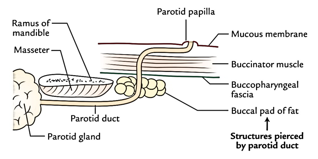 Easy Notes On 【Parotid Gland】Learn in Just 4 Minutes!