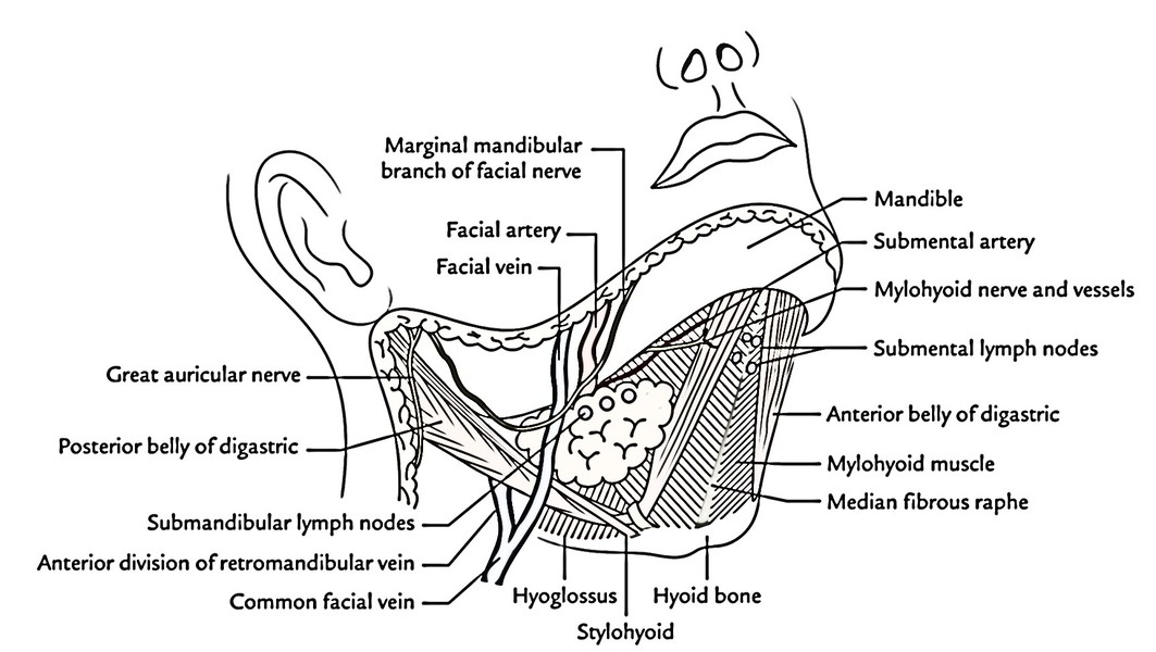 Easy Notes On Submandibular Regionlearn In Just 3 Mins