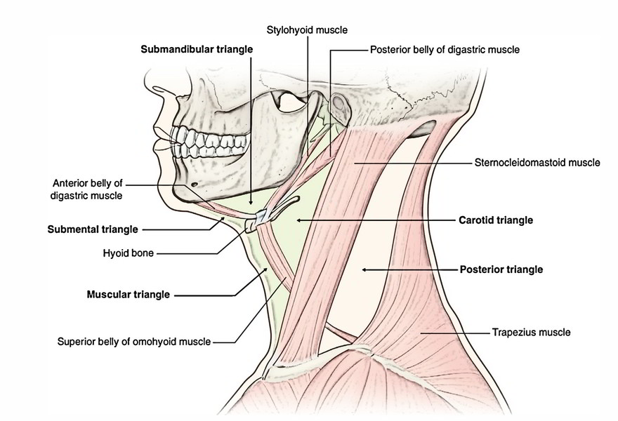 Easy Notes On Muscles Of The Submandibular Region