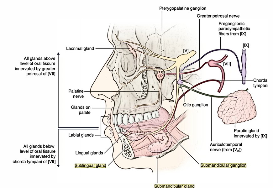 Submandibular Gland Submandibular Ganglion Langleys Ganglion And