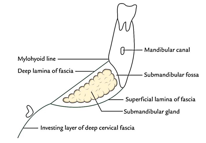 list of synonyms and antonyms of the word submandibular fossa