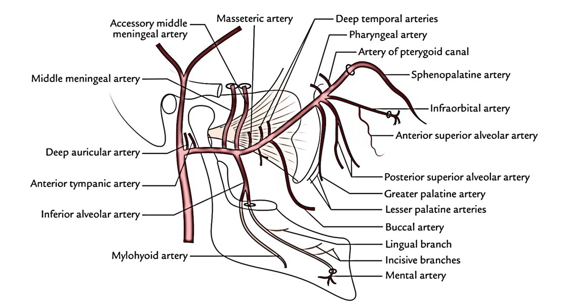 Images of Branches Of Maxillary Artery - #SpaceHero