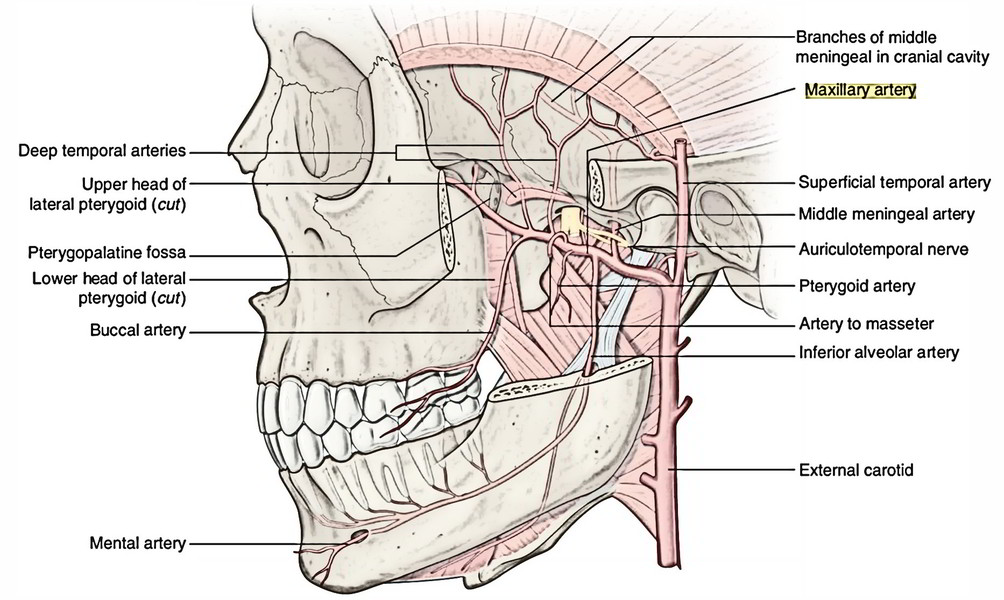 Easy Notes On 【Infratemporal Fossa】Learn in Just 3 Minutes!