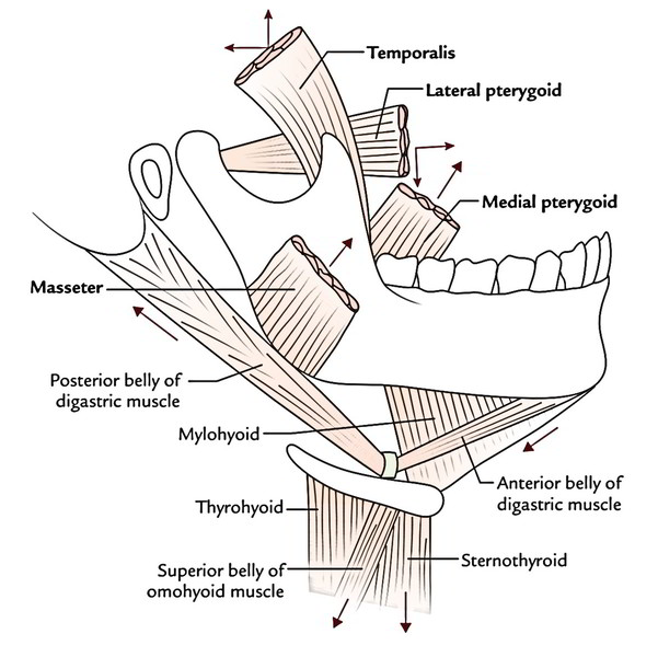 Easy Notes On  U3010muscles Of Mastication U3011learn In Just 4
