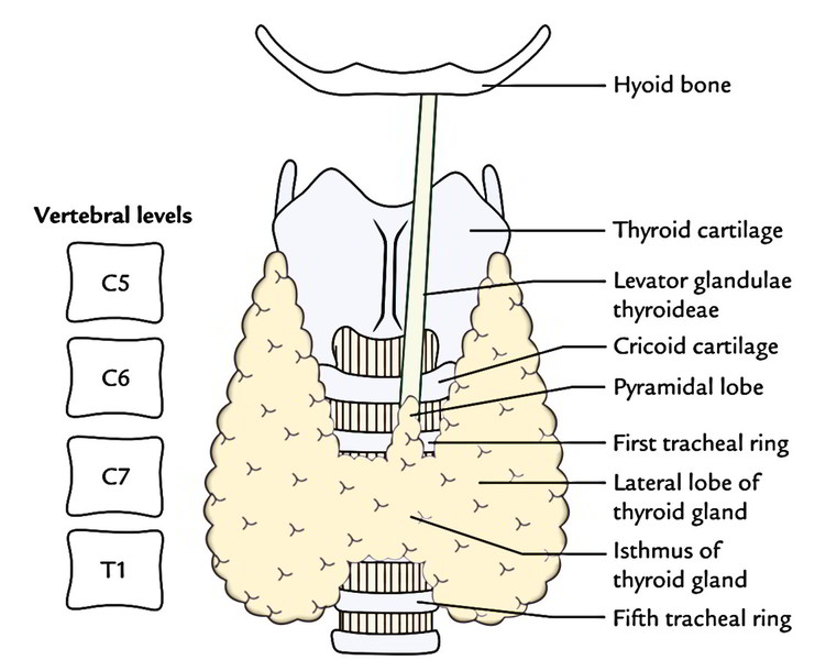 Easy Notes On Thyroid Gland Learn In Just 4 Minutes Earth S Lab