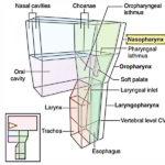a nasopharynx szájnyálka szaga A intoxikált étrend- kiegészítő vagy gyógyszer