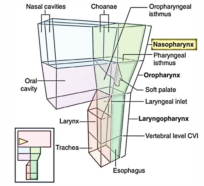 Easy Notes On 【nasopharynx】learn In Just 4 Minutes