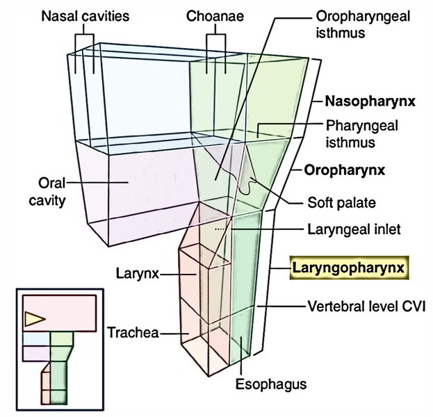 Easy Notes On Laryngopharynx And Pisifrom Fossa