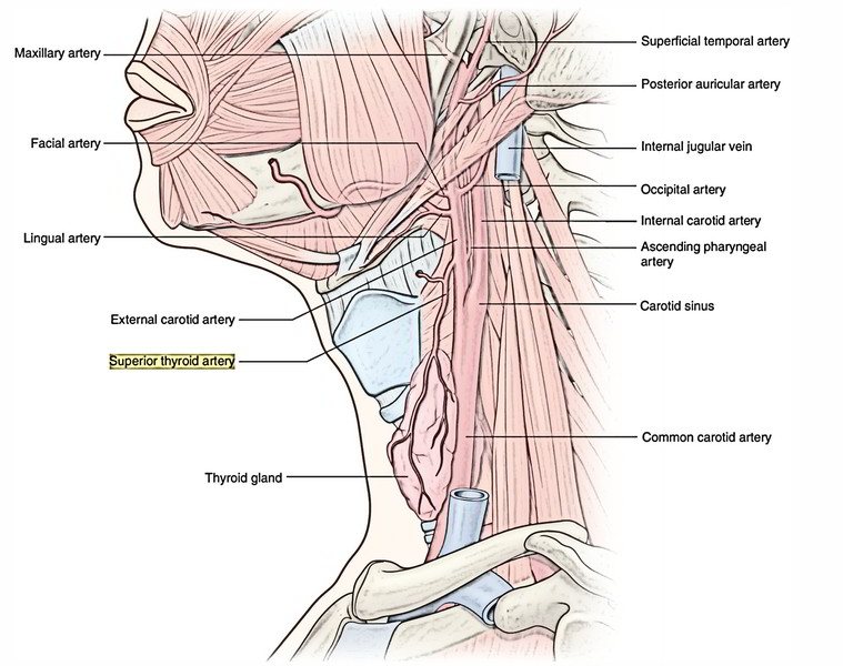 Easy Notes On 【Common Carotid Arteries】Learn in Just 4 Minutes!