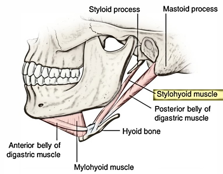 Easy Notes On 【Styloid Gear】Learn in Just 4 Minutes!