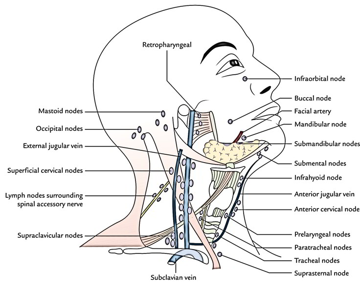 Easy Notes On 【Lymphatic Drainage of the Head and Neck】